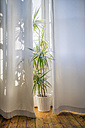 Foliage plant at morning light behind white curtain - RIBF000015