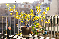 Balcony Easter decoration in Forsythia - MFF001569