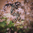 Tabby cat hiding among the flowers of a garden - RAE000150