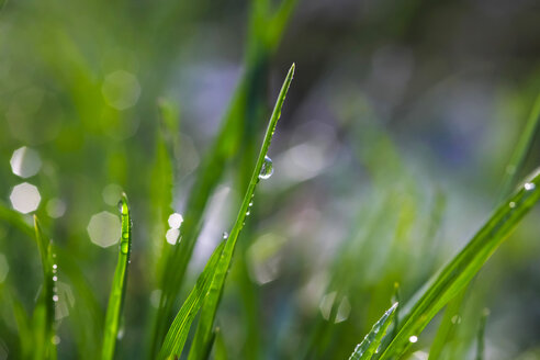 Dew on grass, close up - JTF000658