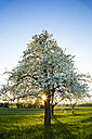 Germany, Baden-Wuerttemberg near Tuebingen, blossoming pear tree on a meadow with scattered fruit trees in the evening - LVF003302