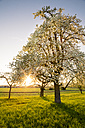 Germany, Baden-Wuerttemberg near Tuebingen, blossoming pear tree on a meadow with scattered fruit trees in the evening - LVF003306