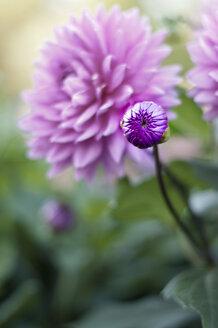 Dahlia blossom bud - KEBF000144