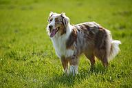 Australian Shepherd standing on a meadow - HTF000723