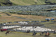Iceland, bringing down the cattle from the mountain pasture - KEBF000177