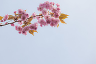Germany, Berlin, Cherry blossoms against blue sky - MMFF000717