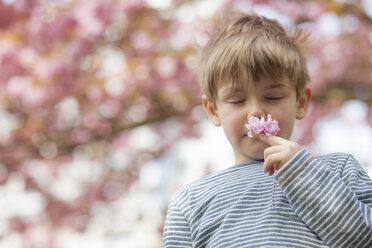 Germany, Berlin, Cherry blossom, Little boy smelling flowers - MMFF000725