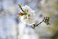 Twig with white cherry blossoms - NNF000209