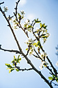 Blossoming fruit tree - BZF000141