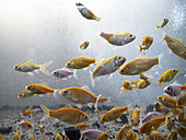 Fish swimming in fresh water aquarium - JMF000340