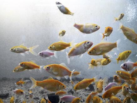 Fish swimming in fresh water aquarium - JMF000340