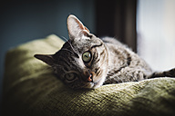 Portrait of a cat on the top of a couch - RAEF000175