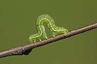 Alsophila aescularia on a twig - MJOF000982