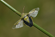 Piezodorus lituratus on blade of grass - MJOF000984