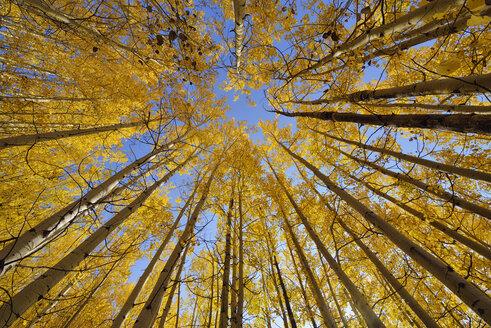 USA, Wyoming, Grand Teton National Park, aspen trees with autumn foliage - RUEF001587
