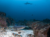 Costa Rica, White tip reef shark, Triaenodon obesus - ZC000226