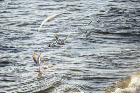 Germany, Baltic Sea, seagulls in the hunt - ASCF000171