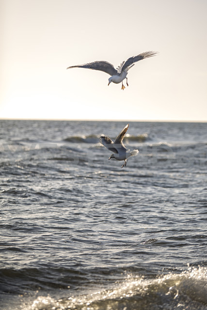 Germany, Baltic Sea, seagulls in the hunt - ASCF000176