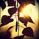 Birch leaves in backlight - HOHF001348