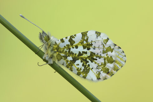 Orange tip on blade of grass - MJOF000986