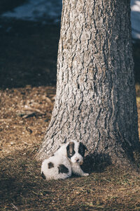 Black and white puppy sitting in front of a tree trunk - BZF000142