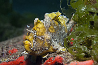 Indonesia, Bali, Secret Bay, Commerson's frogfish - ZC000237