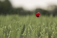 Single poppy in wheat field - MELF000060