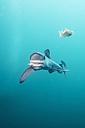 South Africa, Blue shark, Prionace glauca - GNF001324