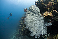 Indonesia, Bali, female diver and sea fan - ZC000245