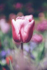 Pink tulip - ELF001496