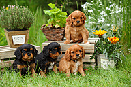 Four Cavalier King Charles Spaniel puppies sitting in a garden - HTF000725