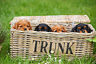 Row of four Cavalier King Charles Spaniel puppies sitting in a wire basket - HTF000727