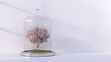 Japanese blooming cherry and a bench under bell jar, 3D Rendering - UWF000513