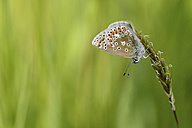 Common blue butterfly hanging head first on blade of grass - MJOF001010