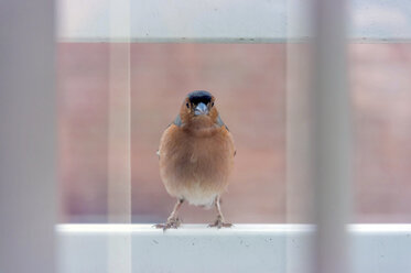 Chaffinch on a window sill - FRF000269