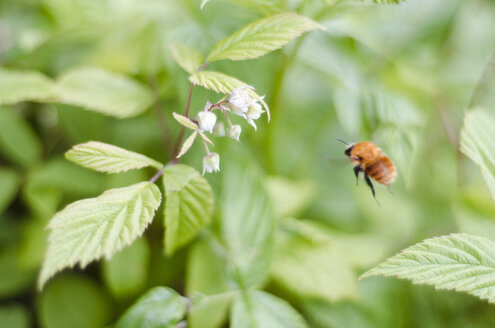 Bumblebee flying to a raspberry blossom - CZF000201