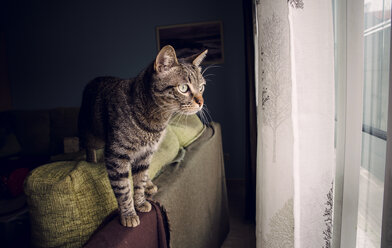 Tabby cat standing on backrest of couch looking through window - RAEF000198