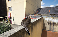 Tabby cat on balustrade of a terrace - RAEF000197