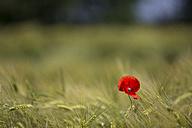 Single poppy in grain field - ASCF000182