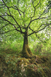 Spain, Galicia, Ferrol, Low angle shot of a three in the forest - RAEF000202