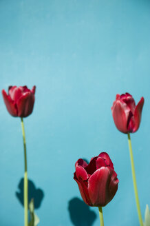 Three red tulips in front of blue background - GISF000121