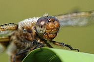 Portrait of wet Scarce Chaser - MJOF001019