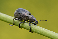 Trunk beetle - MJOF001014