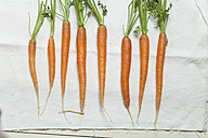 Row of eight carrots on white cloth - SBDF002022