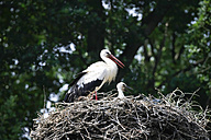 Stork with young bird in nest - JTF000675