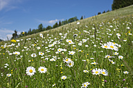 Austria, Lower Austria, Mostviertel, Ybbsitz, oxeye daisies on meadow - SIEF006609
