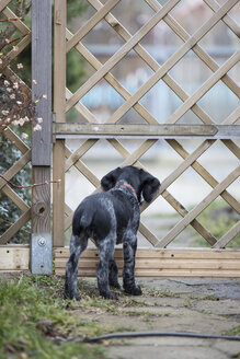 Backview of young black and white dog waiting at garden gate - ASCF000191