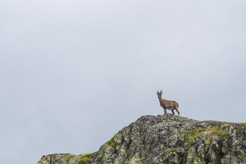 Switzerland, Lac de Cheserys, Alpine Ibex on a rock - LOMF000019