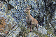Switzerland, Lac de Cheserys, Alpine Ibex on a rock - LOMF000021
