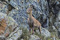 Switzerland, Lac de Cheserys, Alpine Ibex on a rock - LOMF000021